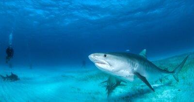 Fotomural Tubarão tigre
