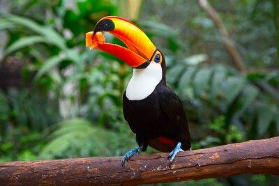 Fotomural Tucano colorido