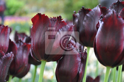 Fotomural Tulipa