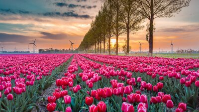 Fotomural tulipa do sol 05
