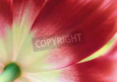 Fotomural Tulipa vermelha perto, fundo abstrato Primavera