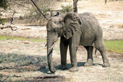 Fotomural Um elefante na savana - Tanzânia - África