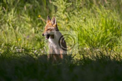 Fotomural Um Fox vermelho, Vulpes vulpes, juvenil sentado na grama rugindo