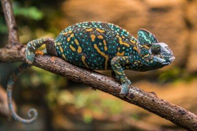 Fotomural Um lagarto camaleão