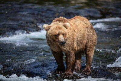 Fotomural Um marrom do Alaskan procura salmões nos riffles do rio dos ribeiros.
