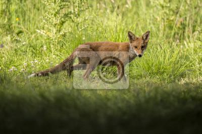 Fotomural Um Red Fox, vulpes Vulpes, juvenil em pé na grama olhando para a câmera
