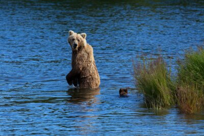 Fotomural Um urso marrom da mãe olha para trás para verificar em seus filhotes ao cruzar o rio dos ribeiros, parque nacional de Katmai, Alaska