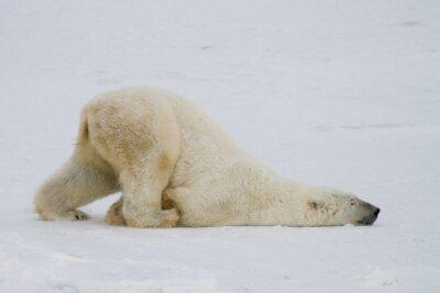 Fotomural Um urso polar bobo empurra através da neve em sua barriga.