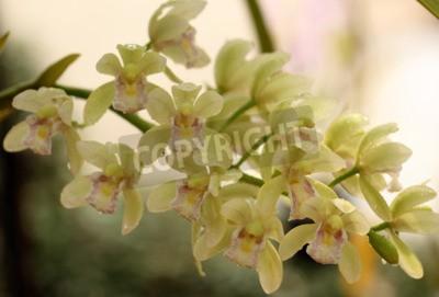 Fotomural Uma linda orquídea na Tailândia