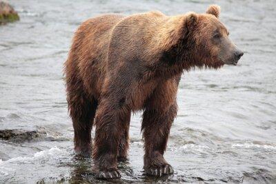 Fotomural Urso de pé, Katmai