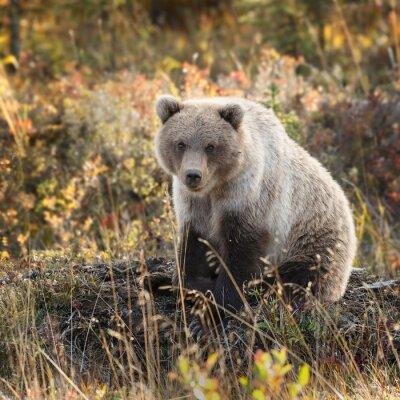 Fotomural Urso de urso em cores do outono em Alaska