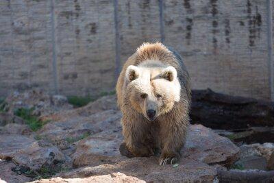 Fotomural Urso marrom