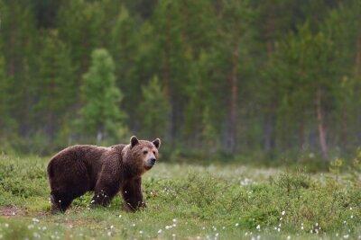 Fotomural Urso marrom com fundo da floresta