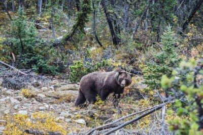 Fotomural Urso marrom grande que procura bolotas