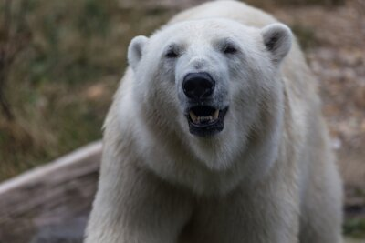 Fotomural Urso polar