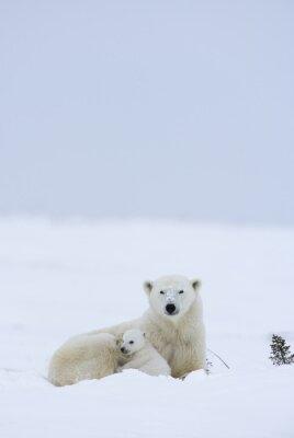 Fotomural Urso polar com filhotes