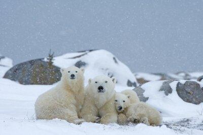 Fotomural urso polar com os filhotes