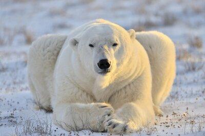 Fotomural Urso polar deitado na tundra.