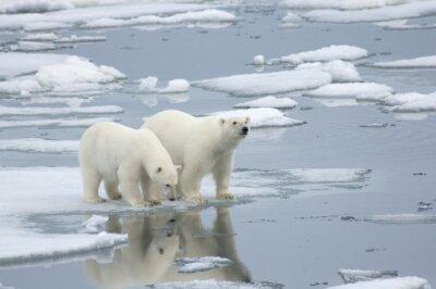 Fotomural Urso polar fêmea com filhote de um ano