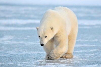 Fotomural Urso polar que anda no gelo azul.