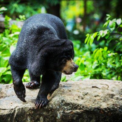 Fotomural Ursos pretos