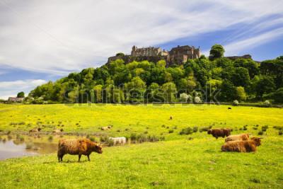 Fotomural Vaca das montanhas na frente do Castelo de Stirling. Vaca escocesa típica das montanhas. Stirling, Escócia, Reino Unido