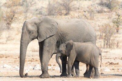 Fotomural Vaca do elefante e Calw em Namíbia