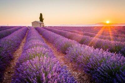 Fotomural Valensole, Provence, França. Lavender field cheio de flores roxas