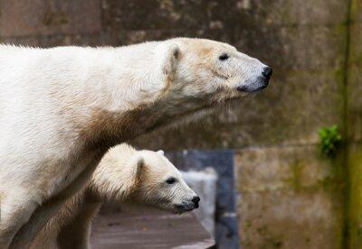 Fotomural ver ursos polares