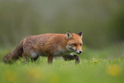 Fotomural Vermelho, raposa, andar, campo, capim, flores