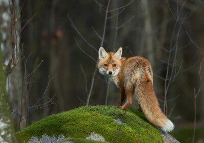 Fotomural Vermelho, raposa, mossy, rocha, olhar, reto, lente, tcheco, república, europa