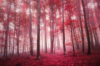 Fotomural Vermelho, saturado, místico, outono, estação, faia, floresta, paisagem. Tom de filtro de cor vermelha usado.