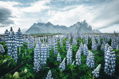 Fotomural Vista bonita de flores perfeitas do tremo não dia ensolarado. Cabo de Stokksnes do lugar, Vestrahorn (montagem de Batman), Islândia, Europa. Imagem maravilhosa da natureza do verão. Descub