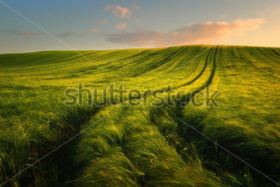 Fotomural Wheat field landscape with path in the sunset time