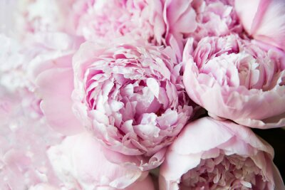 Fotomural White and pink peonies. Background, wallpaper..