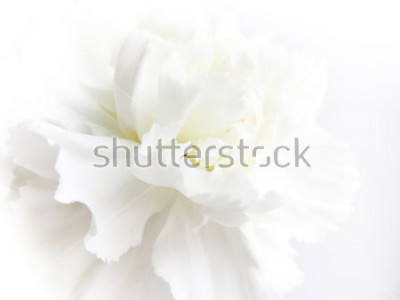 Fotomural White flowers background. Macro of white petals texture. Soft dreamy image