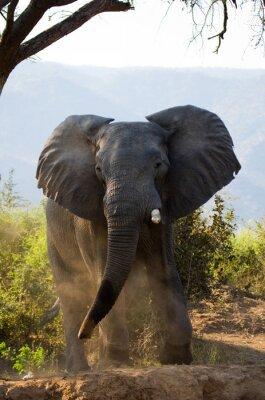 Fotomural Wild Elephant lança a poeira. Zâmbia. Baixa Zambeze National Park. Rio Zambeze. Uma excelente ilustração.