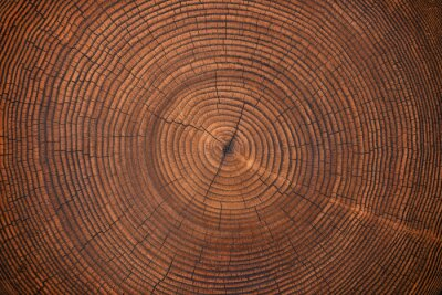 Fotomural wood texture of old stump. natural background of cut trunk with annual rings