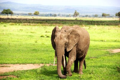 Fotomural Африканский слон