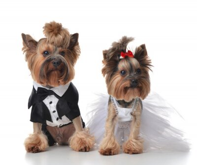 Fotomural Yorkshire Terriers vestidos para casamento como vassoura e noiva s