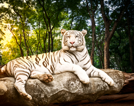 Fotomural Young white bengal tiger in the act of relax on stone at natural forest