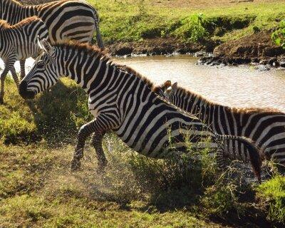 Fotomural Zebra a Sair da Água