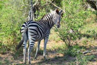 Fotomural Zebra em África Olhando para trás