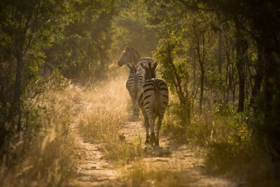 Fotomural Zebras em um Pfad em Gegenlicht