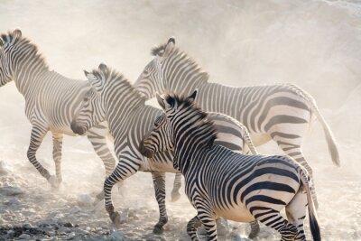 Fotomural Zebras, executando, namíbia, áfrica