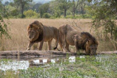 Fotomural Zwei Löwenbrüder am Wasserloch