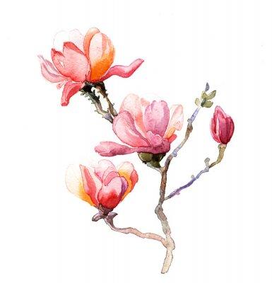 Poster A aquarela Magnolia isolada no fundo branco