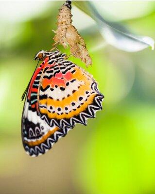 Poster A borboleta do lacewing do leopardo sai da pupa
