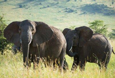Poster Africano, elefantes, africano, savana