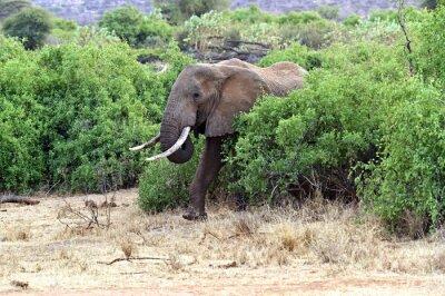 Poster Africano, elefantes, savana